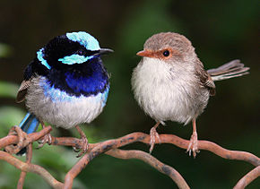 290px-superb_fairy_wrens_mark_2_-_cropped