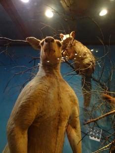 ce kangourou est plus grand que moi !
