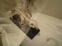 squelette de wombat