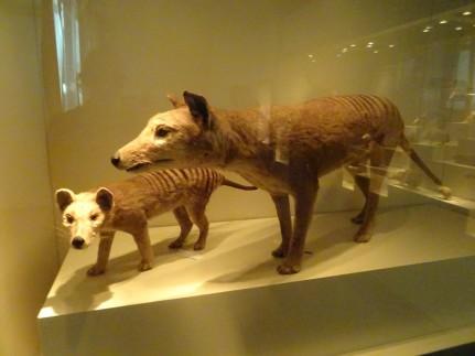Tigre de tasmanie, aujourd'hui disparu (exterminé par l'homme...)