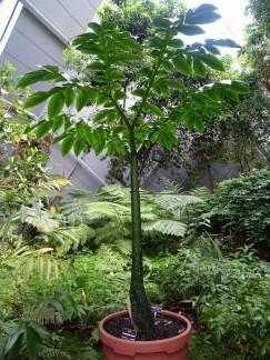 arum titan, toutes les feuilles sont en faite une seule feuille