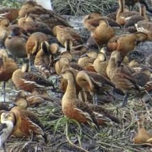 Plumed Whistling-Duck - Dendrocygne d'Eyton