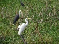 Intermediate egret - Héron intermédiaire - and Pied Heron