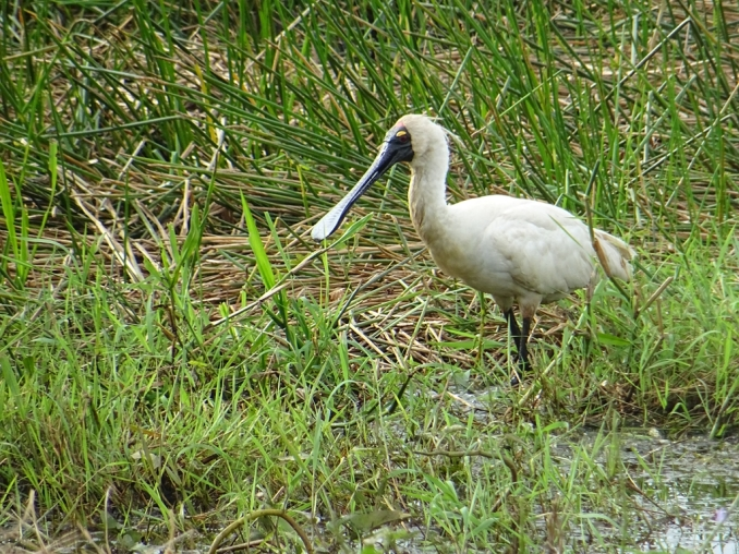 Royal spoonbill - Spatule royale