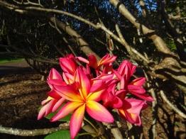 Fleur de frangipanier (qui sens divinement bon)